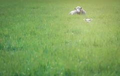 Lie Low (Jason _Ogden) Tags: grass lamb sheep nikon hidden d90 linncounty ears field flickrfriday green farm vr18200mm white ewe animal ovisaries lielow lie low
