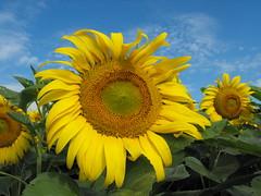 Sunflower (pegase1972) Tags: flower nature flora quebec qubec sunflower shutter qc tournesol upton licensed