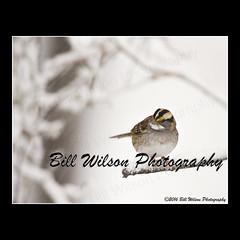 white-throated sparrow in snow (wildlifephotonj) Tags: snow bird nature birds wildlife sparrow sparrows whitethroatedsparrow naturephotography naturephotos wildlifephotography wildlifephotos natureprints wildlifephotographynj naturephotographynj