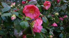 Rouen - Jardin des Plantes - Fleurs - Camlias (jeanlouisallix) Tags: park france flower nature seine fleurs garden rouen maritime normandie botanique parc plantes haute camlias