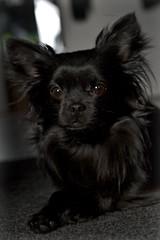 Black Beauty ? (Mientsje) Tags: dog pet pets chihuahua black cute dogs animal animals klein little longhair hond chi inside chiwawa lang tyr hondje haar langhaar