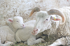 Mother & Child (Cindy's Here) Tags: ontario canada love canon sheep lamb motherchild fortwilliam thunderbay winterfest loveis ansh scavenger20 52in2016 msh0316 msh03162