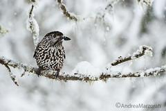 Spotted Nutcracker (andrea.marzorati) Tags: winter white snow bird nutcracker spotted