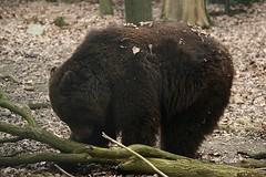 Bruine beer (tasj) Tags: zoo ouwehandsdierenpark
