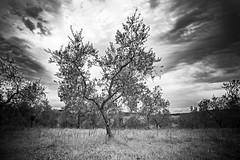 Ulivi (Federica La Pietra) Tags: blackandwhite natura toscana biancoenero colline ulivi senesi