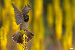 White Spectacled Bulbul, בולבול צהוב שת , Pycnonotus xanthopygos @ flowering Aloe in the independence park, Tel Aviv, 2016 (Jan Rillich) Tags: park city sunset cactus urban sun flower nature beautiful beauty animal fauna digital canon photography eos evening abend march israel photo telaviv spring aloe flora foto fotografie sonnenuntergang image jan wildlife picture free sunny 300mm urbannature 7d flowering canon5d guest independence kaktus bulbul 2016 independencepark animalphotography neareast hayarkon pycnonotusxanthopygos whitespectacledbulbul yellowventedbulbul naherosten spectacledbulbul bülbül whitespectacled בולבולצהובשת gelbsteisbülbül nahalhayarkon janrillich rillich gelbsteis