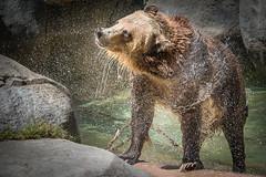 Still Shaking Dry (helenehoffman) Tags: bear nature wet pool animal mammal wildlife sandiegozoo ursus carnivore brownbear ursusarctos grizzlybear specanimal