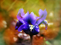 Iris (R_Ivanova) Tags: blue iris light flower color macro nature colors garden spring bokeh sony    rivanova