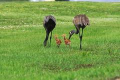 DSC_0035 (james_tolson) Tags: florida crane wildlife gators sandhill sandhillcranes alligators