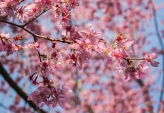 20160306-DSC_6001 (Kay's...) Tags: cherryblossom sakura   wuling wulingfarm