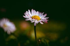 When she holds it. (Joe Effendi) Tags: flower color macro nature 50mm flora fuji dof takumar bokeh outdoor depthoffield m42 bloom florafauna denhelder effendi vintagelens fujifilmxe1 supermulticoatedtakumarmacro50mmf4