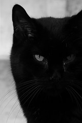 3416 Eyes (Nebojsa Mladjenovic) Tags: portrait blackandwhite bw pet france monochrome animal fauna cat blackcat french eyes feline panasonic animaux chay mladjenovic