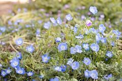 Odd One Out (Rallesh) Tags: china flowers macro garden botanical 50mm nikon f14 beijing d600