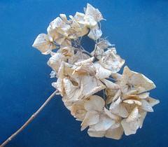 dried hydrangea (muffett68 ) Tags: flower floral hydrangea ansh drydried scavenger7
