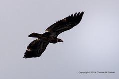 American Bald Eagle (Haliaeetus leucocephalus) (Thomas W Gorman) Tags: nic americanbaldeaglehaliaeetusleucocephalus viveza2 photoshopelements9 sigmaapo150500mmf563dghsmultratelephotozoomlens pentaxk30weathersealed16mpcmosdigitalslr