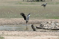 Enjoying the Water (zenseas) Tags: africa wild hot bird water birds southafrica dance driving dancing safari explore waterhole secretarybird sagittariusserpentarius selfdrive explored kgalagaditransfrontierpark danceoflife enjoyingthewater