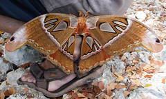 2016_03_09 Panglao (9) (paz_pascual) Tags: mar grande bohol mariposa mariposas isla gigante filipinas panglao pazpascual