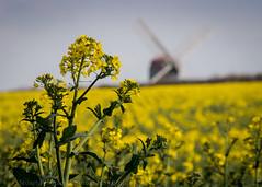 Oilseed and mill (Stuart Feurtado) Tags: yellow spring nikon beds oilseedrape brassicanapus stevington stevingtonwindmill bedfordahire
