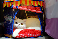 003 (IvanTung) Tags: white cat