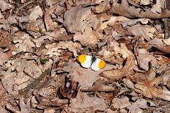hajnalprlepke / Orange Tip (debreczeniemoke) Tags: male forest butterfly insect spring aurora tavasz aurore insecta orangetip aurorafalter anthochariscardamines pieridae rovar erd lepke fersig hm hajnalprlepke olympusem5 fehrszk fehrlepkk fluturedeprimvar