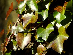 Creeping Ivy (samm.doyle) Tags: light haven leaves sunshine ivy hampshire foliage hedera creeping capturing titchfield
