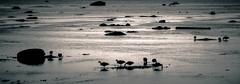 migrateurs (E r i c C) Tags: summer bw birds spring noiretblanc nb migration t printemps oiseaux rimouski bernache migrateur