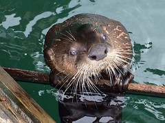 Wait, what?!?!? (H McCann) Tags: wild nature water animal marina mammal bc britishcolumbia wildlife victoria vancouverisland wharf otter aquatic oakbay riverotter