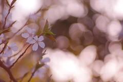 Evening falls in Spring (ss_show) Tags: wood sunset plant blur flower tree floral field 50mm leaf spring twilight branch blossom bokeh outdoor m42 cherryblossom sakura fujifilm pentacon f18 sprig xm1 bubblebokeh mcpentacon