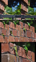 First Retreat (J Swanstrom (Thanks for all the comments and favs)) Tags: blur color brick fence climb nikon dof post bokeh pillar battle lizard retreat d750 change anole extensiontubes jswanstromphotography