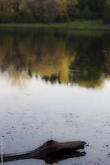 _DSC4801 (Drake Ann Disorderly) Tags: lake reflection tree driftwood