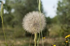 (Gioporc) Tags: primavera natura campagna fiori sole giovanni soffione molfetta porcelli gioporc