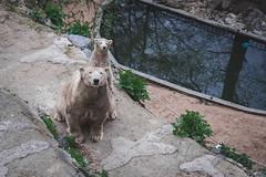 Polar bear. (smn.krsk) Tags: bear nikon czech brno polarbear polar d7200