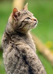 european wild cat Anholt JN6A9069 (j.a.kok) Tags: cat kat wildcat anholt wildekat europeanwildcat europesewoldekat