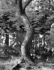 The Curvy Tree (Chuck Baker) Tags: life camera blackandwhite lake tree love film nature wet water monochrome field sex analog rural photography blackwhite woods erotic peace wind kodak outdoor tmax photograph