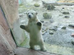 Hello! I am LILI  (BrigitteE1) Tags: bear baby animal germany cub europe polarbear lili bremerhaven zooammeer br ours eisbr specanimal polarbearcub eisbrbaby eisbrlili polarbearcublili firstdayoutdoor polarbearlili eisbrbabylili