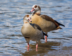 Egyptian Geese (abritinquint Natural Photography) Tags: wild bird nature wet water swim river germany geese swan nikon natural wildlife 300mm telephoto egyptian wade fowl nikkor luxembourg waterfowl f4 coot vogel pf trier mosel egyptiangoose tc14eii 300mmf4 teleconvertor d7200 pfedvr