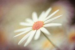 Lost In Reverie (Anna Kwa) Tags: flower macro art love nature lost hope nikon singapore heart bokeh dream soul daisy d750 always wish remembrance lightroom my afsvrmicronikkor105mmf28gifed flowerdome gardensbythebay lostinreverie annakwa