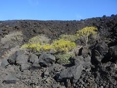 Oleanderblättrige Kleinie an der LP-207, La Palma, NGID1275715945 (naturgucker.de) Tags: kleinianeriifolia naturguckerde cwolfgangkatz 1038097865 1062798284 oleanderblättrigekleinie ngid1275715945 233713491