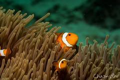 False Clown Anemone fish (chasingphil) Tags: thailand similanislands wickeddiving