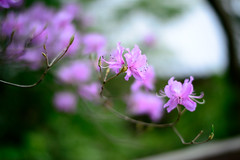 Azalea in Shrine (H.H. Mahal Alysheba) Tags: flower japan garden nikon dof bokeh azalea nikkor afs d800 58mmf14
