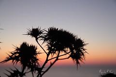 Thors & Colours (lucamondardini) Tags: sunset italy plants plant nature sicily fiore stromboli