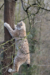 Lynx 2016-04-01-0008 (bzd1) Tags: nature animal cat mammal natuur lynx carnivore carnivora felidae chordata eurasianlynx lynxlynx katachtigen roofdieren