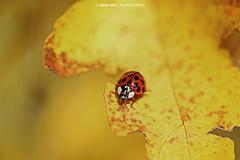 Red Ladybird on Yellow Leaf (Johann Winterholler Fotografie) Tags: red color macro rot nature yellow canon leaf warm natur sunny gelb ladybird ladybug dots makro blatt sonnig marienkfer punkte