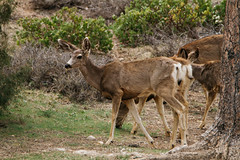 Mule Deer (Odocoileus hemionus) (emiliechenphotography) Tags: spring muledeer brycecanyonnationalpark 2016 odocoileushemionus