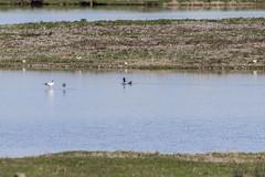 Avocet (22) (Mal.Durbin Photography) Tags: nature birds newport naturereserve newportwetlands maldurbin goldcliffnewport