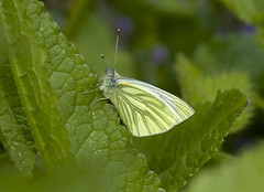Green-veined White------ Pieris napi (creaturesnapper) Tags: uk europe butterflies lepidoptera greenveinedwhite pieridae pierisnapi maplelodge
