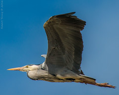 Heron-7938 (Photography By Robert Young) Tags: heron nikon norfolk sigma tichwell