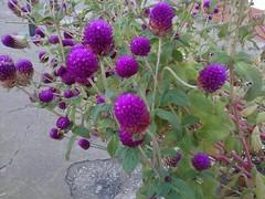 Flores de Alienigenas (Arcangelve) Tags: flor maracaibo morada