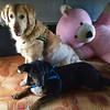 Bono & Pufka big toy (psiortal.pl) Tags: dog pet dogs animal goldenretriever toy big funny pies psy miś zwierze smieszny zabawka duża zabawny maskotka psiortal