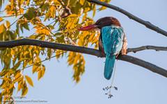 White-throated Kingfisher (Yasir Subhan) Tags: pakistan kingfisher whitethroatedkingfisher whitebreastedkingfisher smyrnakingfisher canon7dmarkii sigma150600mmf563dgoshsm s